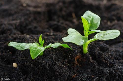 高錳酸鉀消毒花土
